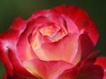 rose-1280-960-3000