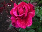 Roses-96-3J7JAUW1D1-1024x768