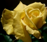 Yellow-Rose-cute-nature