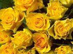 yellow-roses-98w