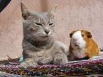 cat_guinea_pig_animal_1546_1024x768