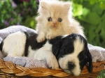 kitten resting on puppy